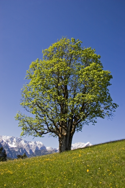 prachtbaum