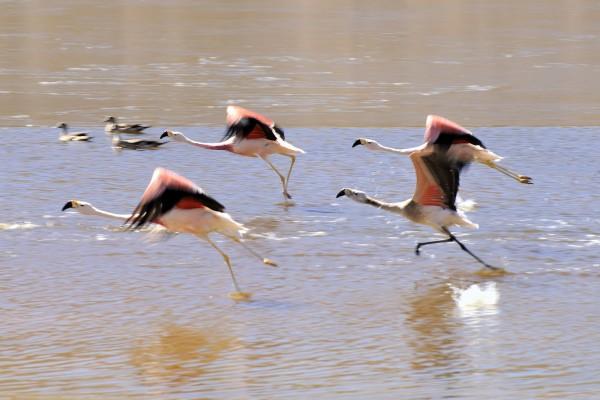 flamingos setzen zum flug an