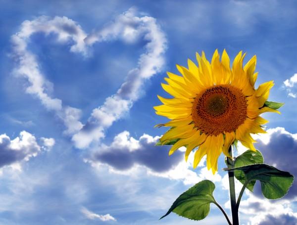 sonnenblume vor himmel mit wolkenherz