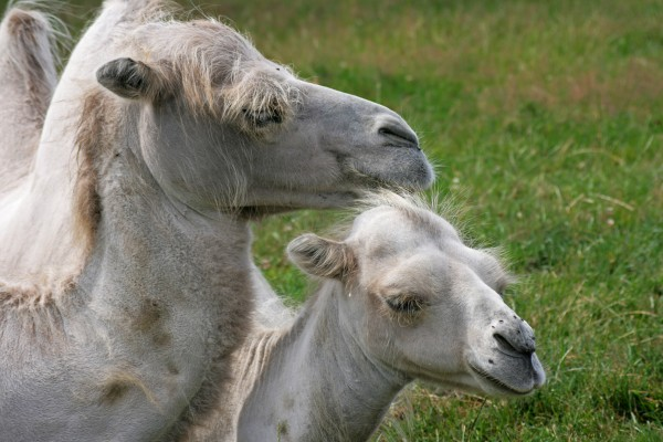 kuschelnde kamele