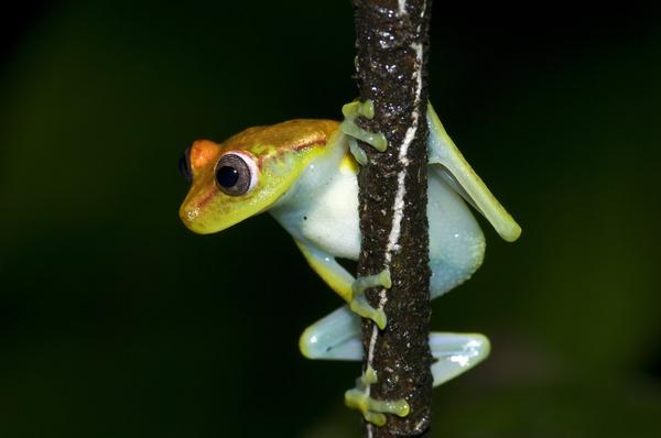 suedamerikanischer frosch