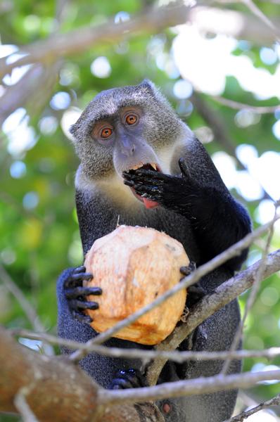 affe mit kokosnuss im baum
