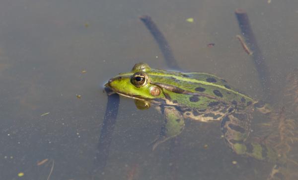 detaillierte frosch