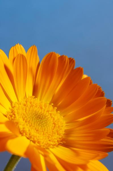 orange gaensebluemchen blume