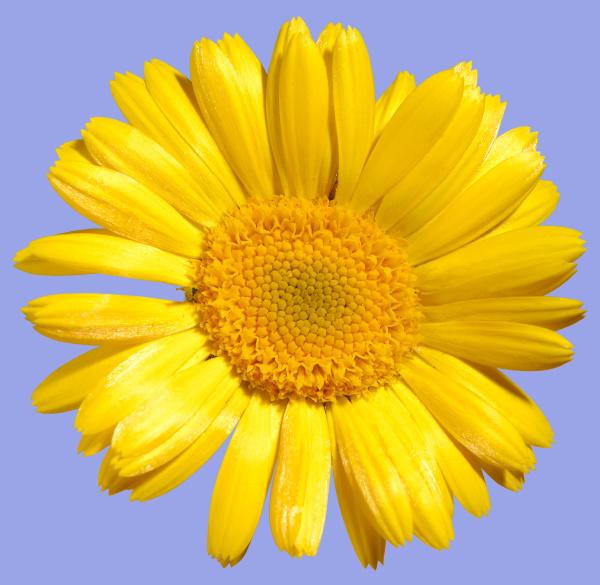 gelbe daisy blume
