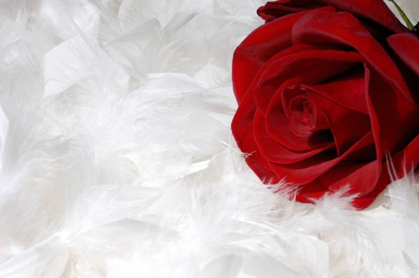 rote rose auf weissen federn
