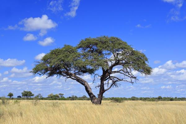 afrikanischer akazienbaum