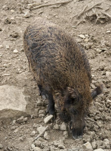 wild boar in stony back