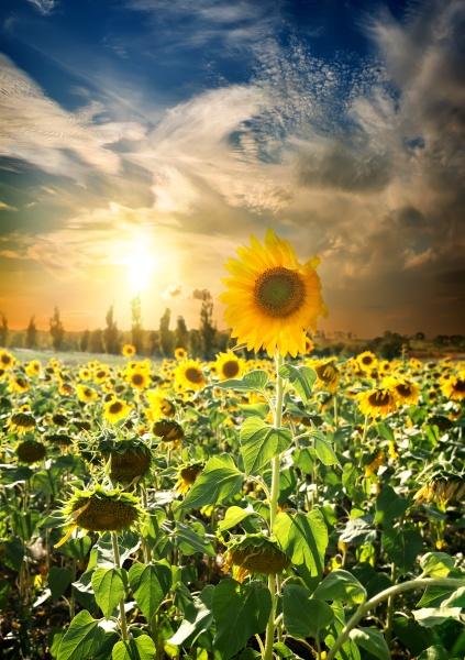 sonnenuntergang ueber sonnenblumen