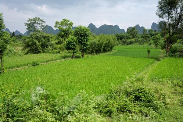 chinesische reisfelder