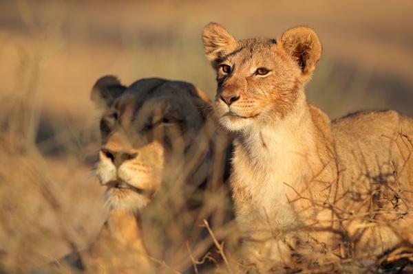 afrikanische loewin und cub