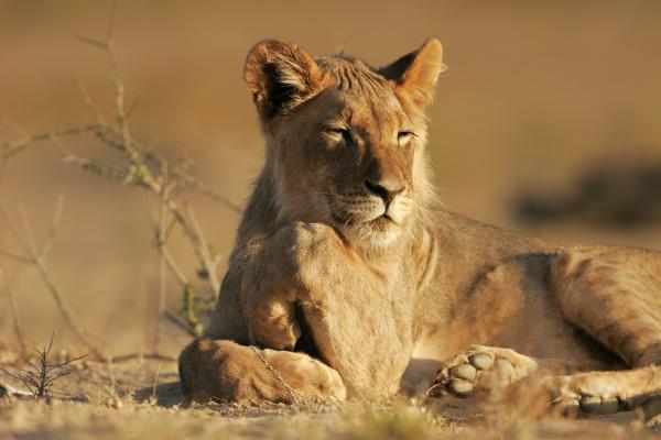 junger afrikanischer loewe