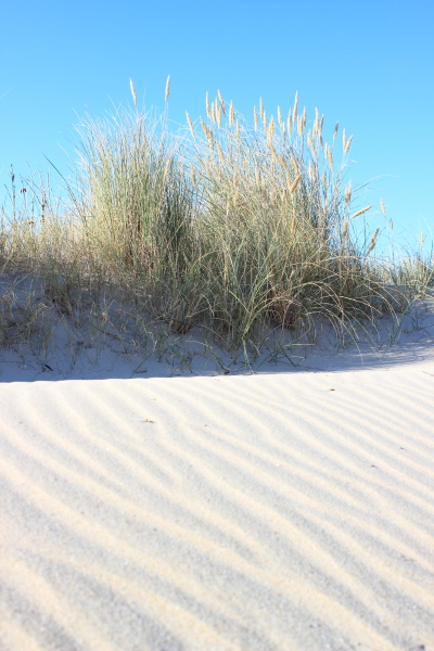 sand, dune, and, wild, leymus, plant - 12868548