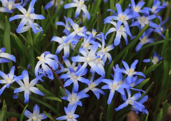 nahaufnahme auf fruehlingswindblume mit blauen und