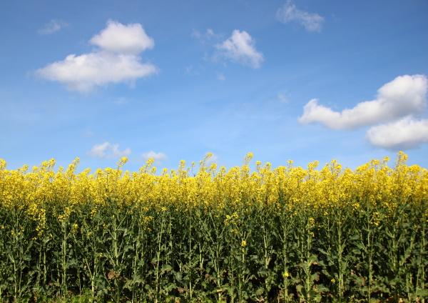 yellow rapsfeld mit blauem himmel und