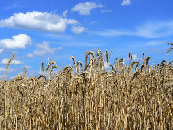 roggenfeld vor blauem himmel mit woelkchen