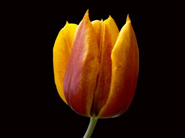 tulpe gelb rot freigestellt