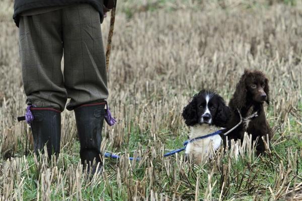 ein fasanenschuss zwei ausgebildete kanonenhunde ein