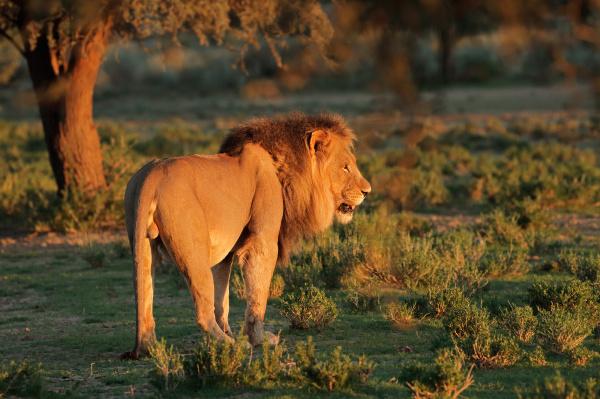 grosser maennlicher afrikanischer loewe