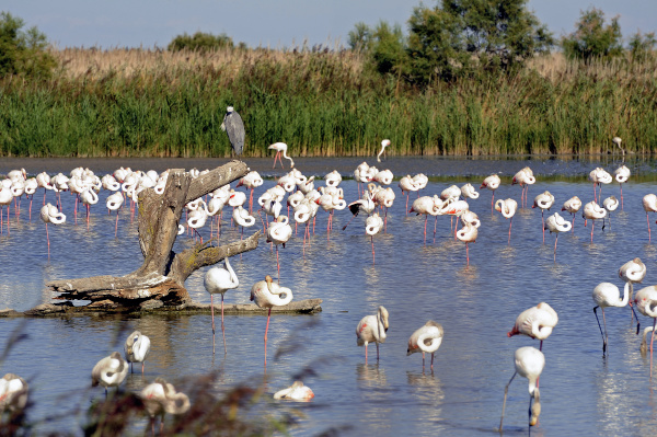 vogel frankreich flamingos rosa flamingo