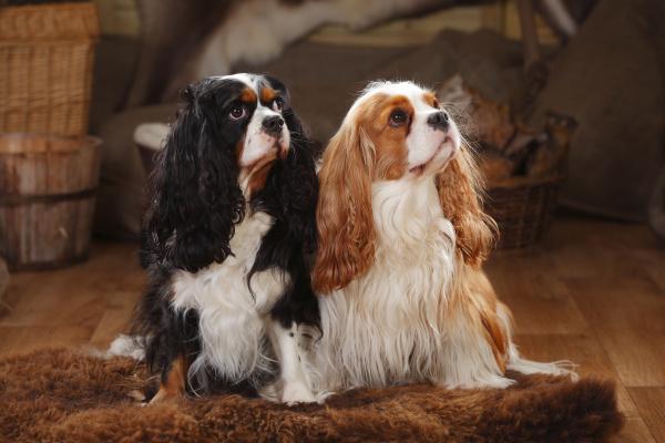 tier haustiere hund indoor ruede rassehund