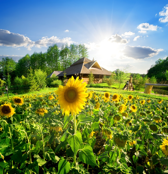 haus und sonnenblumen