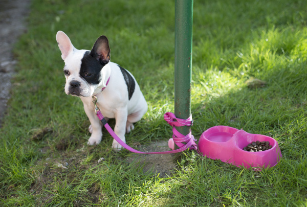 french, bulldog, puppy, tied, to, a - 16997250