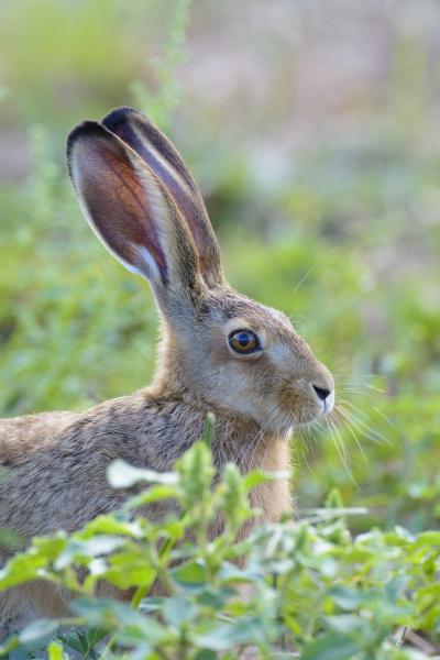 european brown hare lepus europaeus hessen