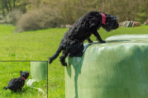 schwarzer hund springt auf ein siloballen