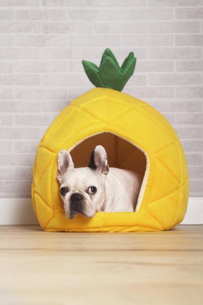 franzoesisch bulldog in seinem bett liegend