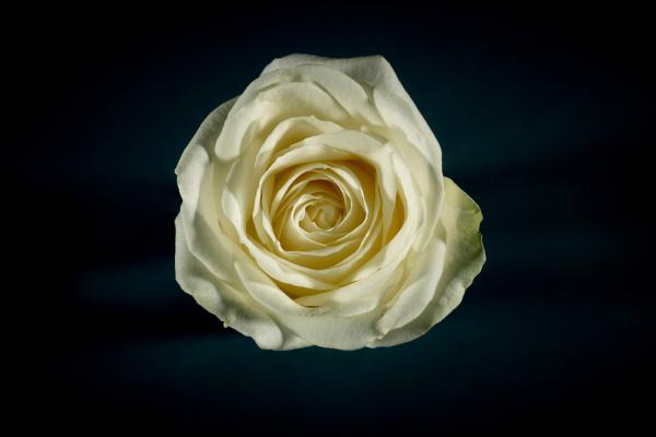 stilleben blume rose pflanze zart stillleben