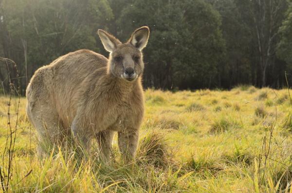 ostgraues kaenguru geehi kosciuszko nationalpark new
