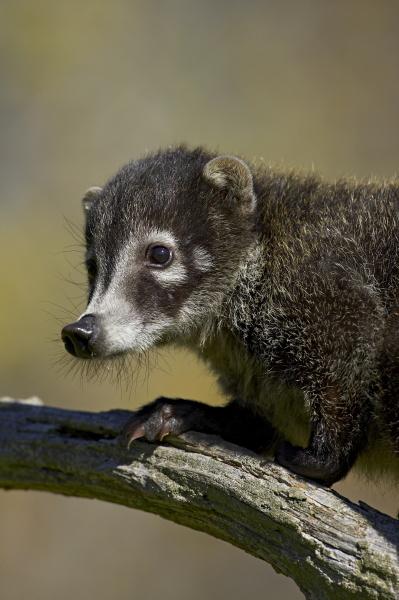 captive coati nasua narica minnesota wildlife