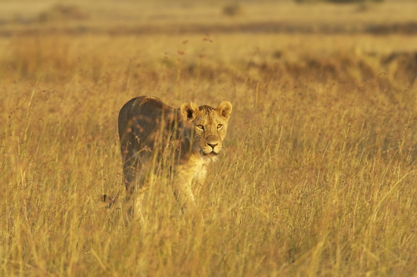 lioness panthera leo spaziergang durch hohes