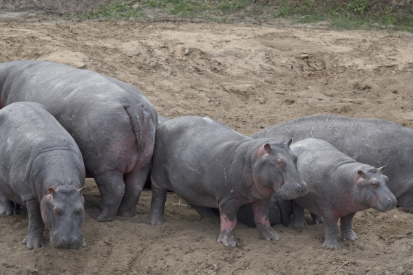 nilpferd hippopotamus amphibius auf land masai