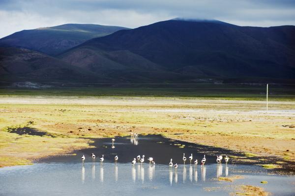 james flamingos phoenicoparrus jamesi bolivien suedamerika
