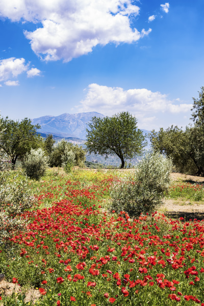spanien andalusien olivenhaine mohn im fruehling