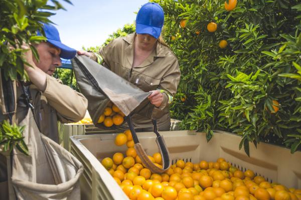 landarbeiter auf der plantage die orangen