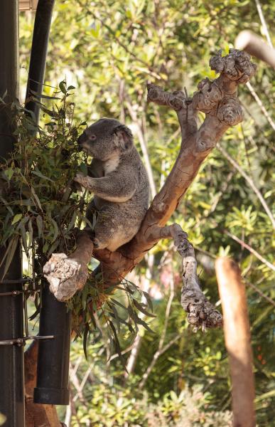 koalabaer phascolarctos cinereus