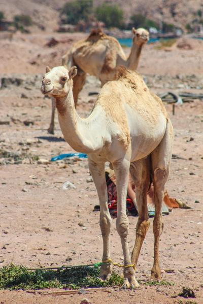 zwei kamele die in der wueste