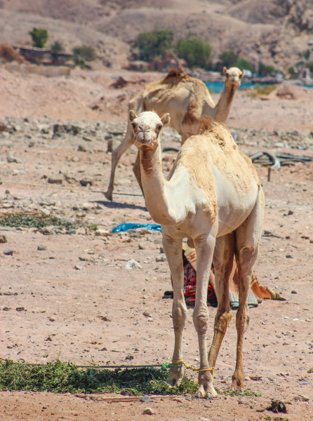 tier asien afrika kamel AEgypten