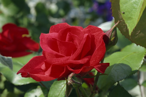 nahaufnahme der roten rose cardinals cap