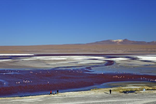 flamingos on laguna colorada rote lagune