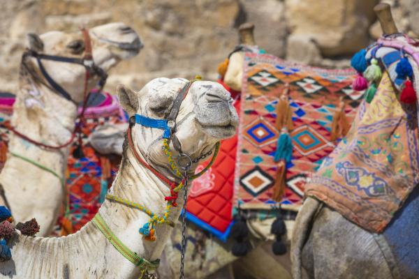 beduine kamele ruhen in der naehe