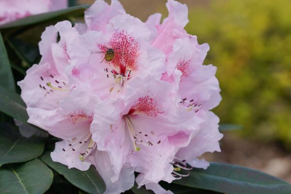 rhododendron kromlauer parkperle