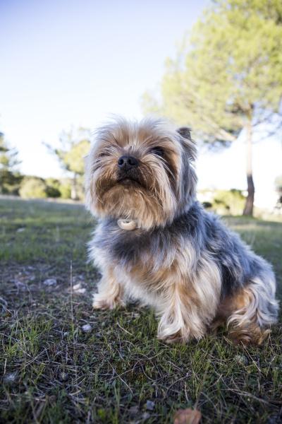 yorkshire terrier sitzt auf wiese aufzublicken