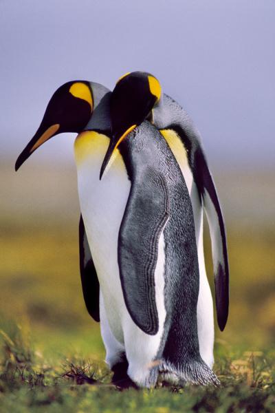 king pinguine courting aptenodytes patagonicus south