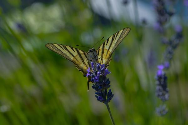 segelfalter saugt nektar an einer bluete