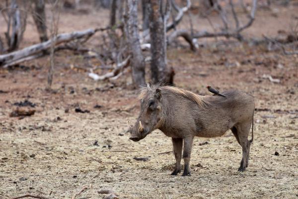 warzenschwein mit rotschnabel madenhacker suedafrika