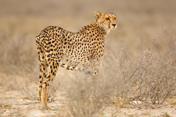 gepard in natuerlichen lebensraum